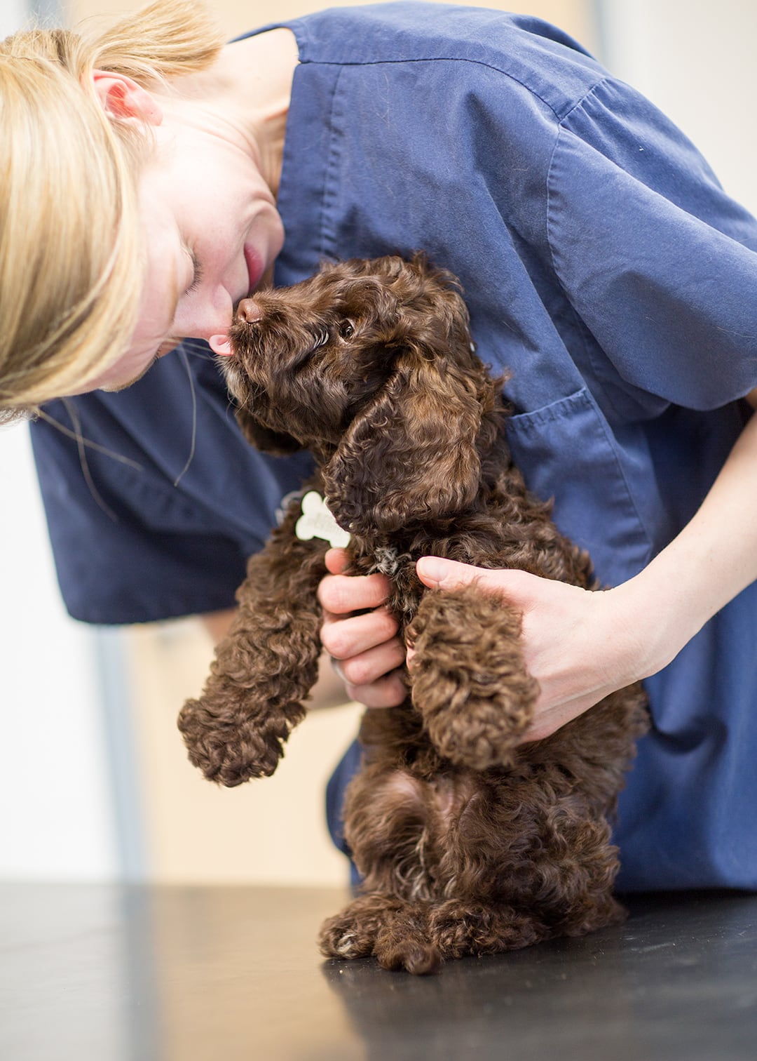 Vet with a cockerpoo puppy at Ashtree Vets surgery i Newmarket during a commercial photoshoot