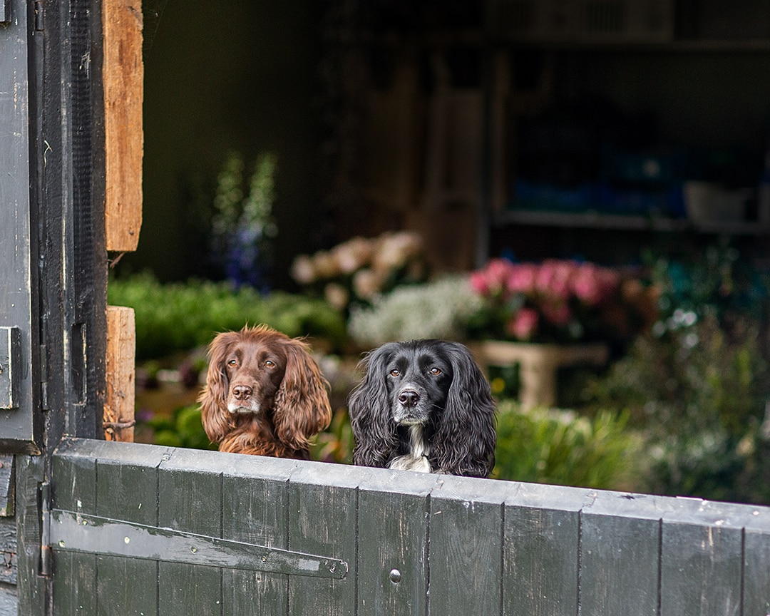 two spaniels peeking over the barn door during a personal branding photoshoot for Amelia Cornish, florist in Cambridge